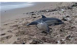 Riva'da iki ölü yunus balığı sahile vurdu