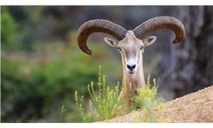 Bakanlık cezaları açıkladı: Yaban koyunu vurana 267 bin, boz ayı vurana 30 bin TL ceza