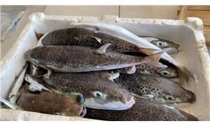 Balon balığı araştırması: Zehri ısıya karşı duyarsız