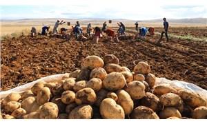 İktidar çiftçinin sesini geç duydu: Depolarda çürüme aşamasına gelen patatesi TMO alacak