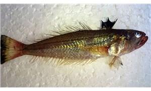 Zehirli trakonya balığına karşı 'denize ayakkabıyla girin' uyarısı