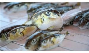 Balon balığının parazitleri nedeniyle birçok balık türü tehlikede