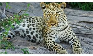 Çin'de safari parkından kaçan leopar, tavuklarla yakalanacak