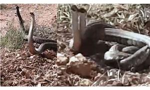 Dünya'nın en zehirli yılanlarından biri Urfa'da görüldü
