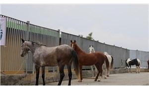 Tarım ve Orman Müdürlüğü'nden İmamoğlu'na 'kayıp atlar' yanıtı: Yerini bilmemize imkan yok