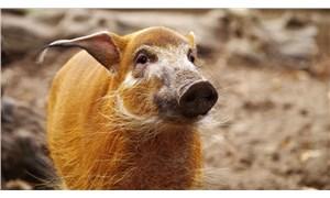 İtalya'da yaban domuzları bir kadını 'gasp' etti