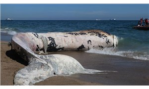 Mersin'de kıyıya vuran balinanın ölüm nedeni belirlendi