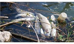 Kızılırmak'ta bir haftadır balıklar ölüyor