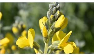 'Eber sarısı'nın yetiştiği yeni bir alan keşfedildi