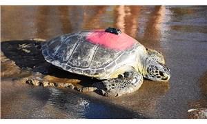 Tedavisi tamamlanan kaplumbağa Talay, 3 günde 30 kilometre yürüdü