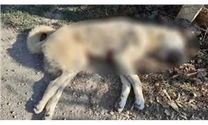 Adana'da iki kangal köpeği bıçaklanarak öldürüldü