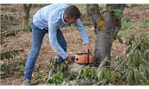 Kiraz fiyatlarına isyan eden çiftçi ağaçlarını kesti