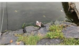 Küçükçekmece Gölü'nde balık ölümlerinden sonra martı ölümleri
