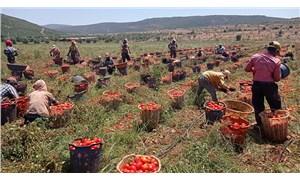 Domates tarlasında çocuk işçiler