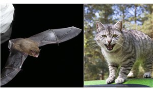 Dünyanın bilinen en uzun 2. uçuşunu yapan yarasayı kedi öldürdü