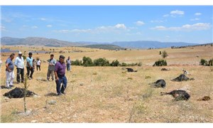 Antalya'da tarlanın etrafına dökülen gübreyi yiyen 25 keçi yaşamını yitirdi