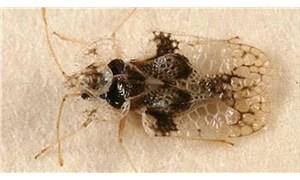 3 şehir dantel böceği istilası altında