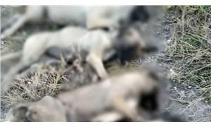 """Ankara'da köpek katliamı: """"Zehirleyen kişi kasten yan yana dizmiş"""""""