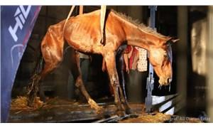 Hopa'da kasasında kaçak olarak 33 atı taşıyan TIR, bir yurttaşın ihbarı üzerine durduruldu