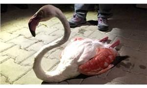 Uzun uçuştan yorgun düşen flamingo tedavi altına alındı