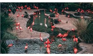 Pembe flamingoların sayısı iklim değişikliği nedeniyle her geçen gün azalıyor