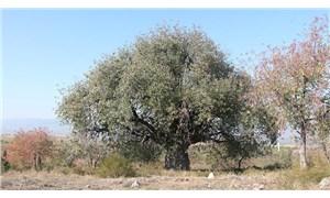 Tokat'ta 3 ağaç koruma altına alındı