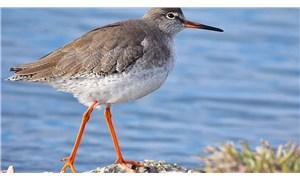 Avrupa'da her beş kuştan biri yok olma tehlikesiyle karşı karşıya