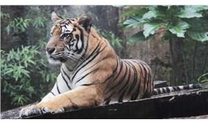 Endonezya'da av kapanına yakalanan Sumatra kaplanı susuzluktan yaşamını yitirdi