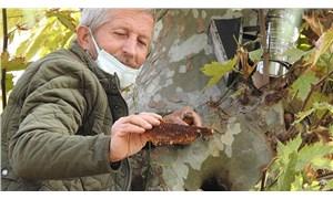 Kaçak kraliçe arı, 10 bin arıyla 160 yıllık çınar ağacında bulundu