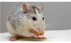 Müdürüne sinirlendiği için ofise fare bırakan çalışana hapis cezası